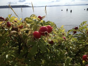 Rosehips contain 20 times more Vitamin C than oranges