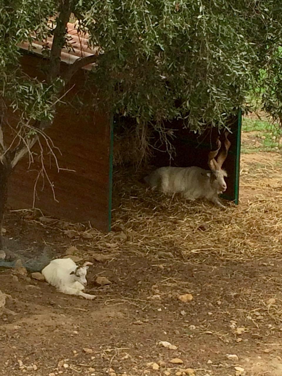 The Girgentana goats