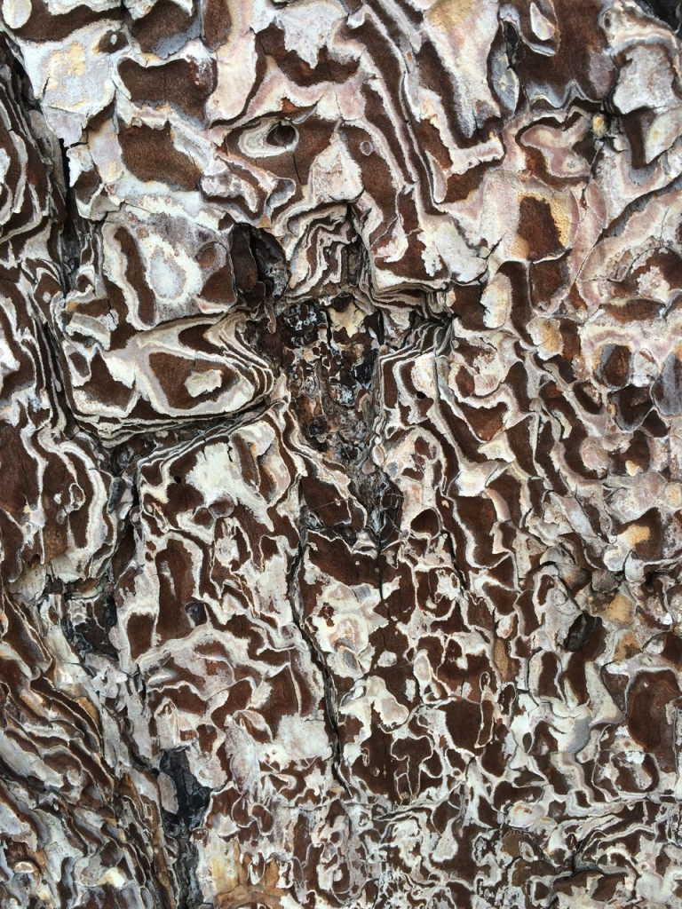 Amazing intricacy of pine trunk