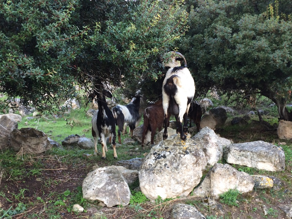 Goats of Cyprus