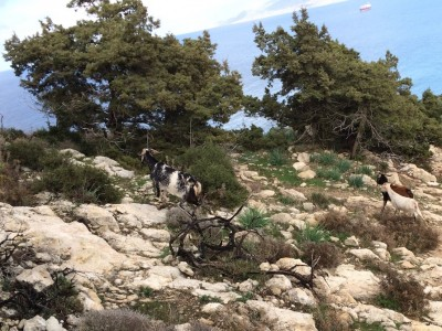 Cyprus adventure: Aphrodite vs. goats