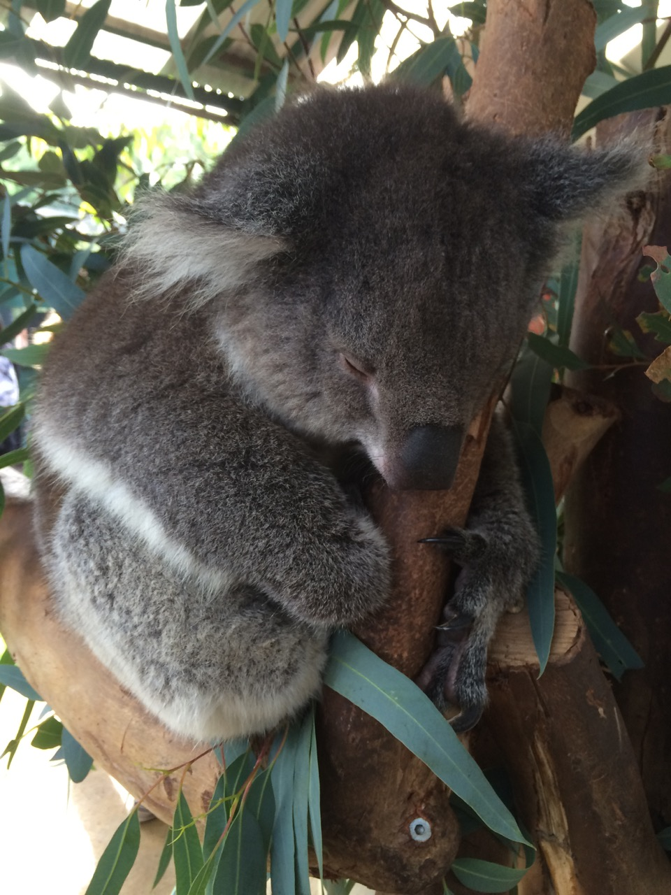 Koala at Caversham Wildlife Park
