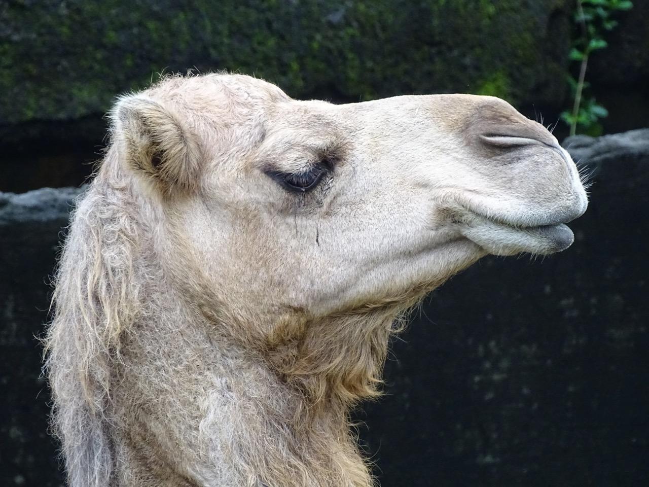 Camel at Taipei Zoo