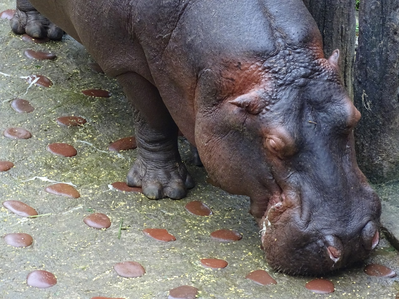 Hippo at Taipei Zoo