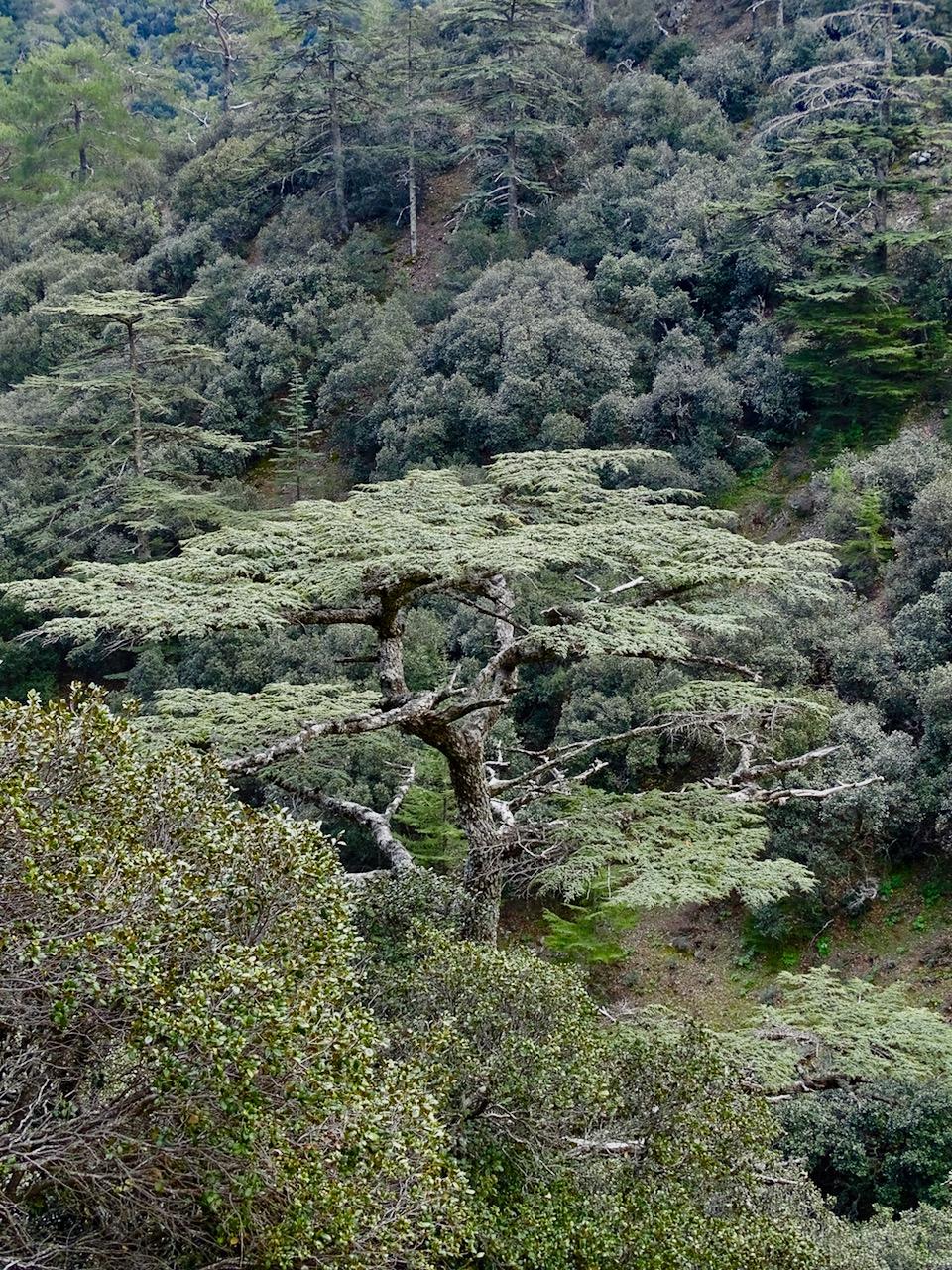 Cyprus Cedar