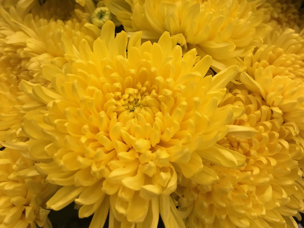 Tet Chrysanthemums