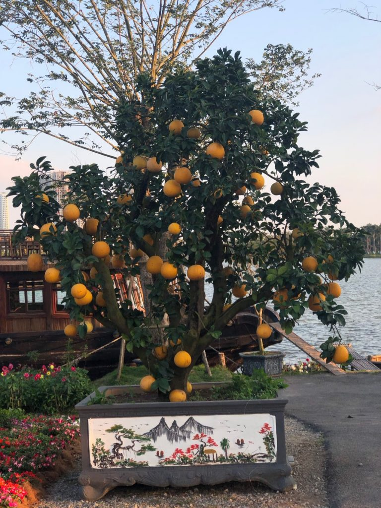Tet Orange Tree
